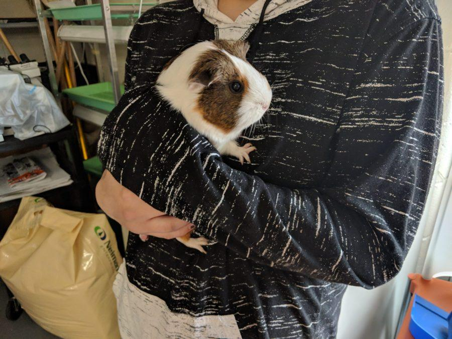 Mrs. Knodle Has A Guinea Pig?